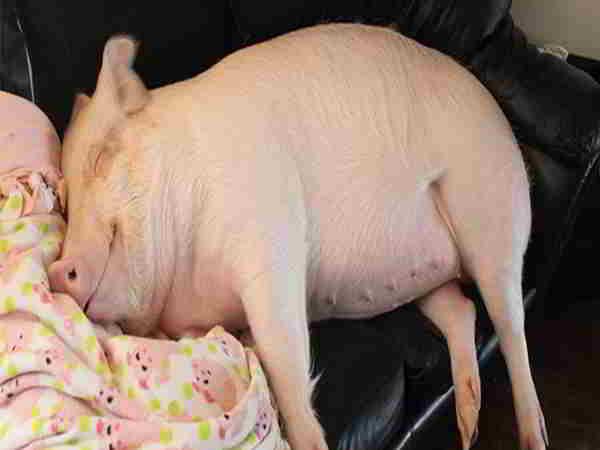 Nằm mơ thấy lợn có ý nghĩa gì, nên đánh số đề nào?