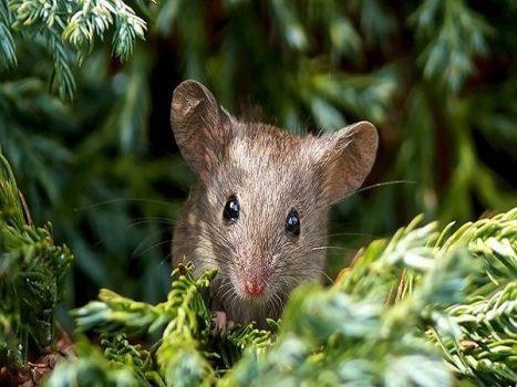 Mơ thấy chuột là điềm báo gì, đánh con số nào may mắn?