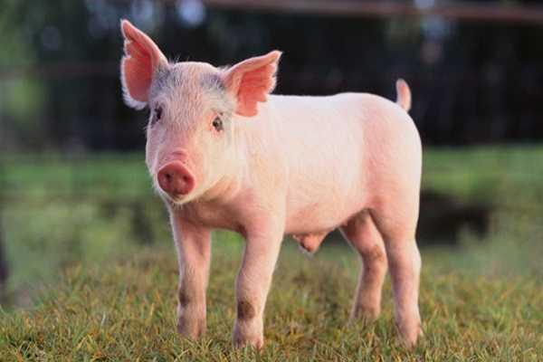 Điềm báo trong giấc mơ thấy lợn