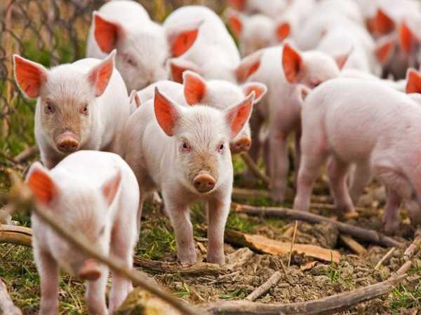 Mơ thấy lợn mang ý nghĩa gì, đánh con số gì may mắn?