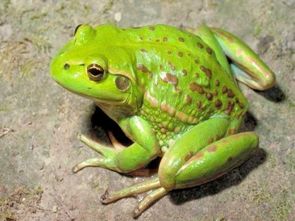 Điềm báo trong giấc mơ thấy ếch, đánh con số lô đề nào?