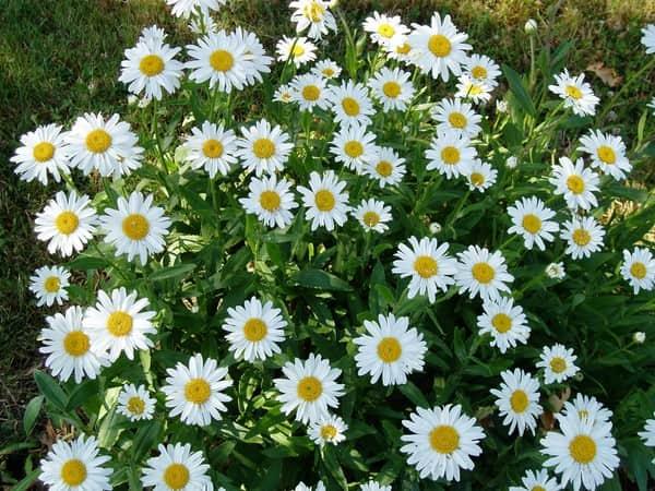 Giải mã giấc mơ thấy bông hoa cúc đánh  ngay con số nào