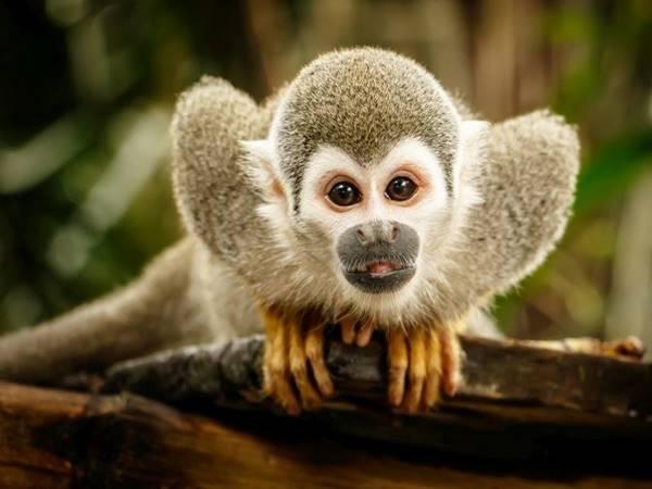 Giải mã giấc mơ thấy con khỉ mang điềm báo gì?