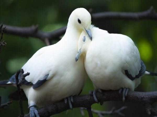 Giải mã ý nghĩa mơ thấy chim bồ câu? đánh lô đề con gì?