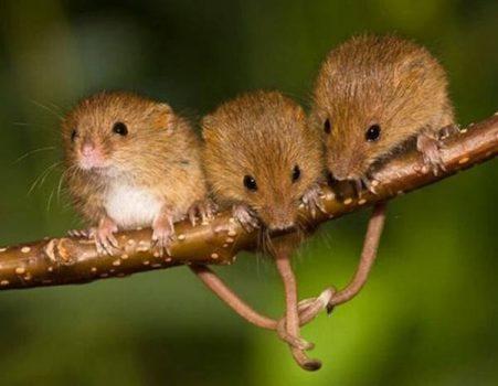 Giấc mơ thấy con chuột là điềm báo gì? tốt hay xấu