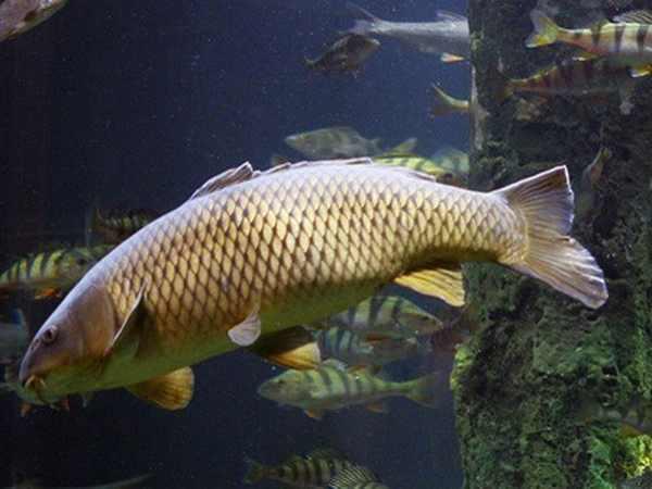 Chiêm bao thấy cá chép có ý nghĩa gì đặc biệt