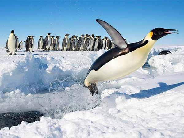 Mơ thấy chim cánh cụt – Điềm báo của giấc mơ thấy chim cánh cụt