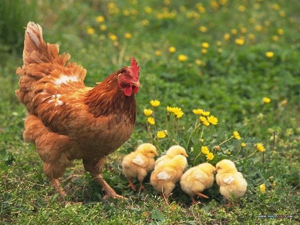 Nằm mơ thấy con gà đánh số mấy? Ý nghĩa giấc mơ