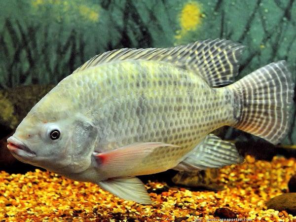 Mơ thấy cá rô điềm báo lành hay dữ? Đánh con gì chính xác?