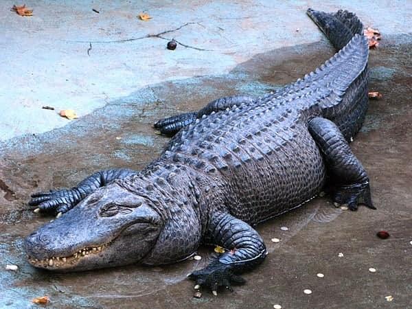 Giải mã giấc mơ thấy cá sấu đánh lô đề con gì dễ trúng?
