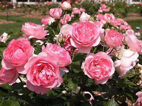 Nằm mơ thấy hoa hồng đánh con gì ăn chắc, có điềm báo gì