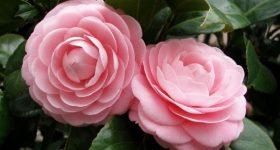 Tổng hợp ý nghĩa giấc mơ thấy hoa màu hồng đánh con gì?