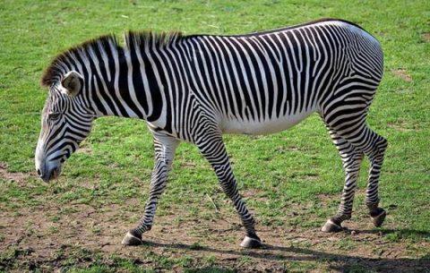 Giải mã bí ẩn giấc mơ thấy con ngựa vằn là điềm báo gì? Đánh con số nào