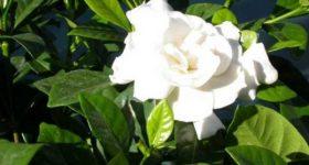 Nằm mơ thấy hoa màu trắng đánh xổ số con gì dễ trúng nhất